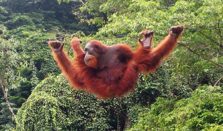 Taman Negara orangutan