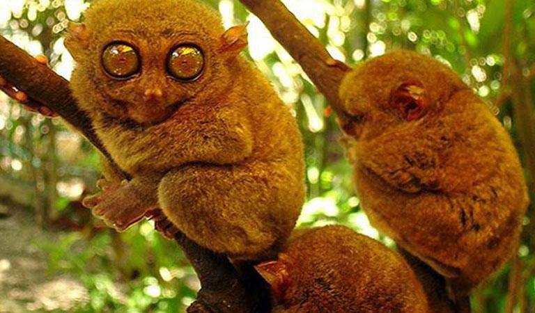 Filipíny-Bohol-island-opice