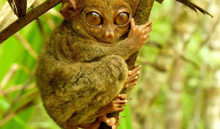 Filipíny-Bohol-island-primát-nártoun-filipínský-2